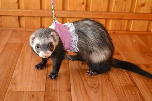 Homemade ferret the contents in the home