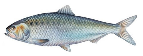 How to butcher and cook a shad