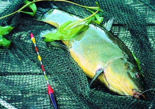 How to catch tench