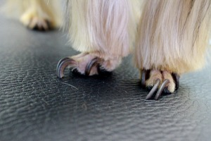 How to trim the dog's nails than to cut the dog's nails