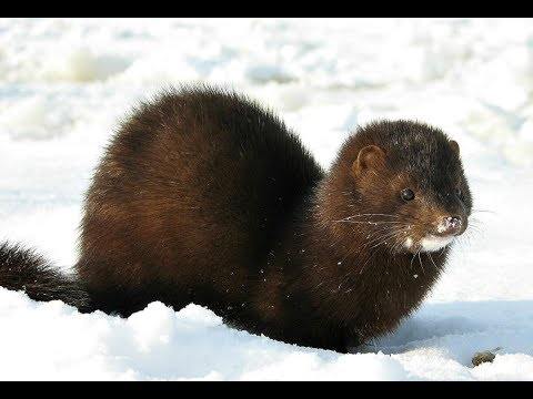 Hunting for mink
