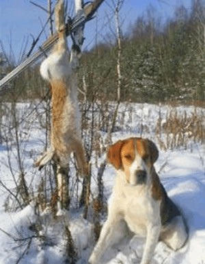 Hunting the hare with hounds