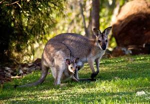 Где живут кенгуру- Описание животного