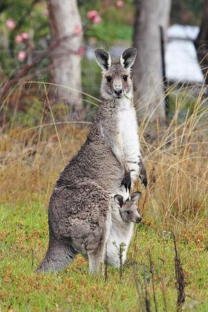 Kangaroo lifestyle