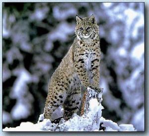 Lynx vulgaris: where the animal lives and