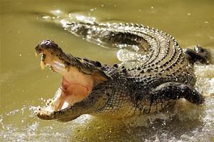 Крокодил гребнистый