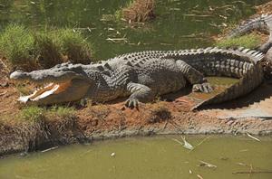 Marine or estuarine crocodile