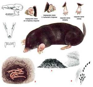 Обыкновенный крот – описание животного (схема)