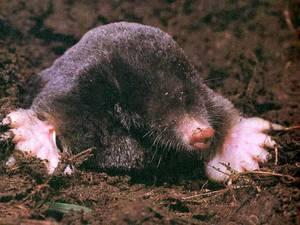 Mole ordinary habitat