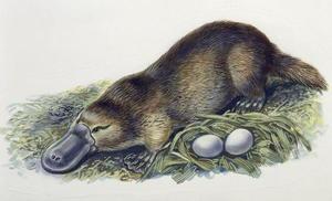 Яйца утконоса