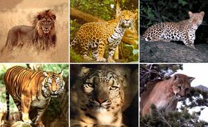 Хищники семейства кошачьих
