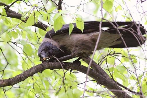 Ворона в бессильной ярости отщипывает клювом веточки дерева, на котором сидит