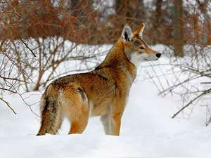 Red wolf or a mountain view: appearance and way of life