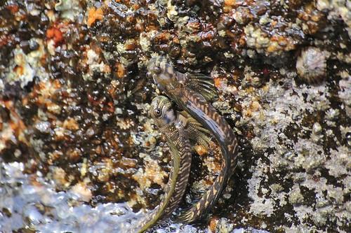 Сидящие на камнях над водой небольшие рыбки, умеющие прыгать: Скальный прыгун (Alticus saliens) или Тихоокеанская прыгающая собачка (Alticus arnoldorum) - сухопутные рыбы, умеющие дышать воздухом. Национальный парк Khao Lak Lamru, Таиланд
