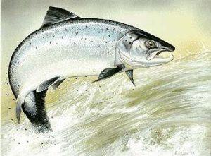 Лосось. Ловля лосося