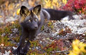 Silver Fox: what kind of animal