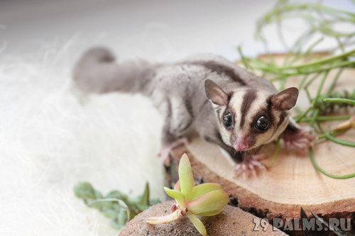 Sugar possum lives of flying squirrels in the home