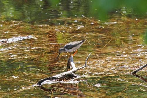 Мородунка (Xenus cinereus) - куличок с длинным загнутым вверх клювом и жёлтыми лапами на затопленной коряге