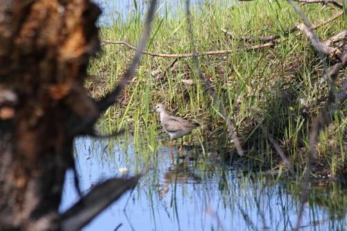 Мородунка (Xenus cinereus) - куличок с длинным загнутым вверх клювом и жёлтыми лапами на берегу заливного луга