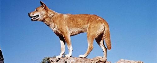 The Australian Dingo