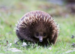 The Australian echidna: inhabited, especially animal food