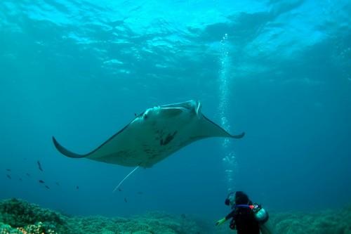 Лучшие места для дайвинга - Манта Пойнт, Мальдивы
