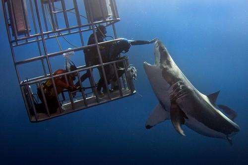 Лучшие места для дайвинга с акулами - Остров Гуадалупе, Мексика