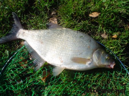 The bream fishing on the float rod