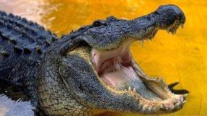 Алигаторы и крокодилы - в чем же разница?