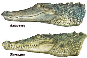 The difference between an alligator and a crocodile. What may be different