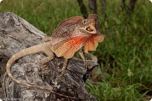 Плащеносная ящерица в Австралии