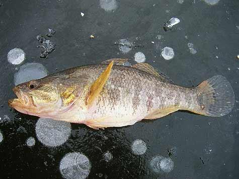 речная рыба ротан