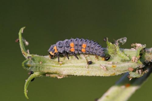 The larva of ladybugs