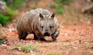 Северных вомбатов осталось крайне мало из-за охоты за их ценным мехом