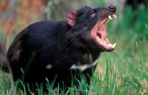 The Tasmanian or marsupial devil