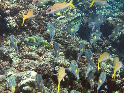 Стайка тропических рыб разных видов (Gnathodentex aureolineatus - золотопятнистый император, пижамный хирург - Acanthurus lineatus и др.) над камнями и кораллами мелководья Андаманского моря у островов Симилан
