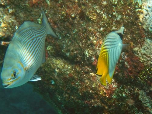 Тропические рыбки у покрытого кораллами камня в Андаманском море у острвоа Симилан. Справа - рыба-бабочка клинополосая (аурига, нитеперая, Chaetodon auriga) с полосками клином вдоль тела и жёлтым хвостом