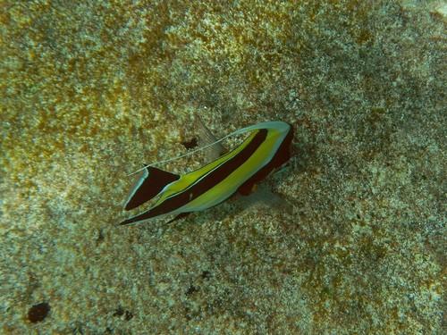 Рогатый занкл, он же мавританский идол (Zanclus cornutus) под водой у камней островов Симилан