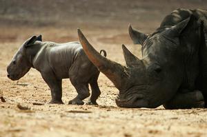Самка черного носорога с детенышем