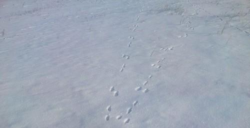 Следы зайца-русака