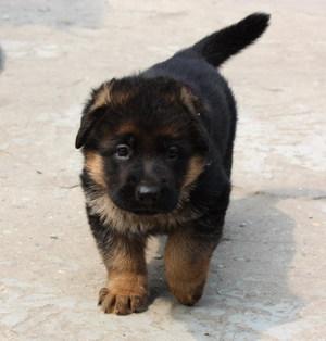Маленький щенок овчарки на улице
