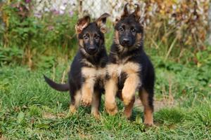 Физическая нагрузка щенков немецкой овчарки