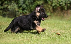 Training a German shepherd puppy in the home