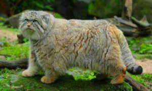 Манул - дикий кот евразийских степей, численность его невелика и продолжает снижаться