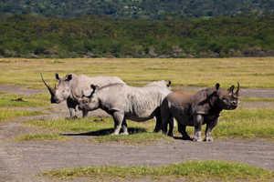 Белый и черный носороги, обитающие в саванне, находятся на грани ичезновения
