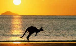 Кенгуру обитает только в Австралии и является ее символом