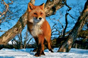 What eats a Fox at different times of the year