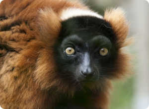 Where they live and what they eat-eyed cutie lemur