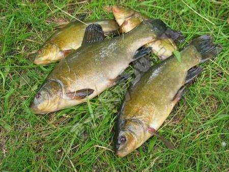 Where to catch tench