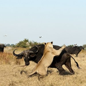 Wild animals of Africa, characteristic species